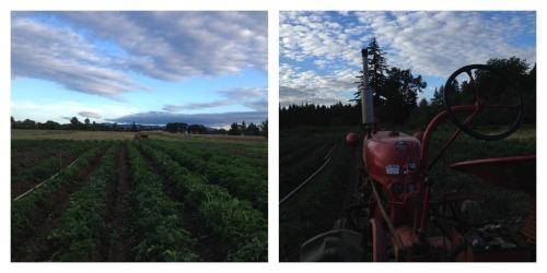 hilling potatoes