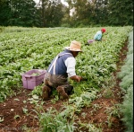 03 spinach harvest