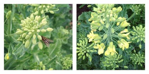 kale seed crop