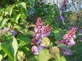 01 lilacs