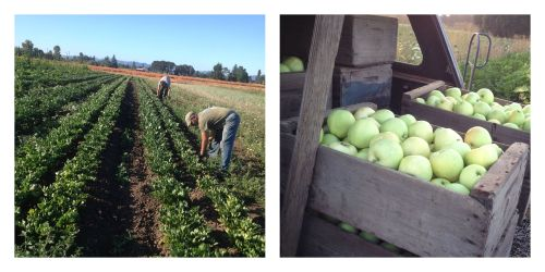 apples and weeding