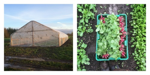 greenhouse and radishes