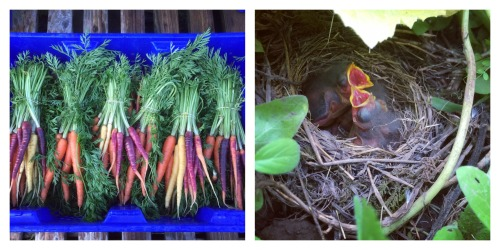 carrots and birds