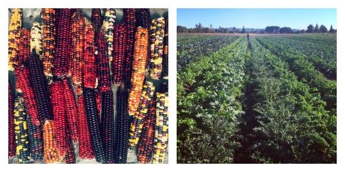 fall-crops