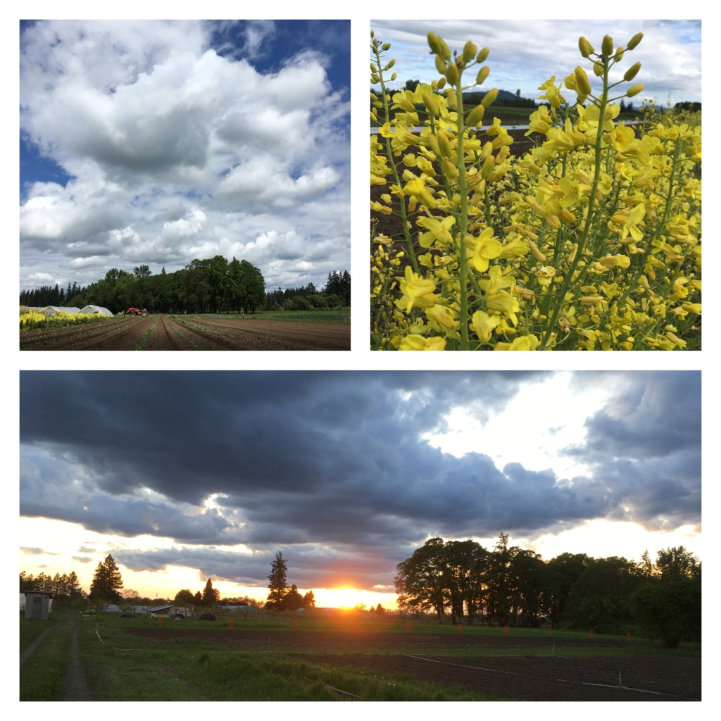 Cloudy skies, farm field, sunset through the oak trees, and yellow kale flowers.