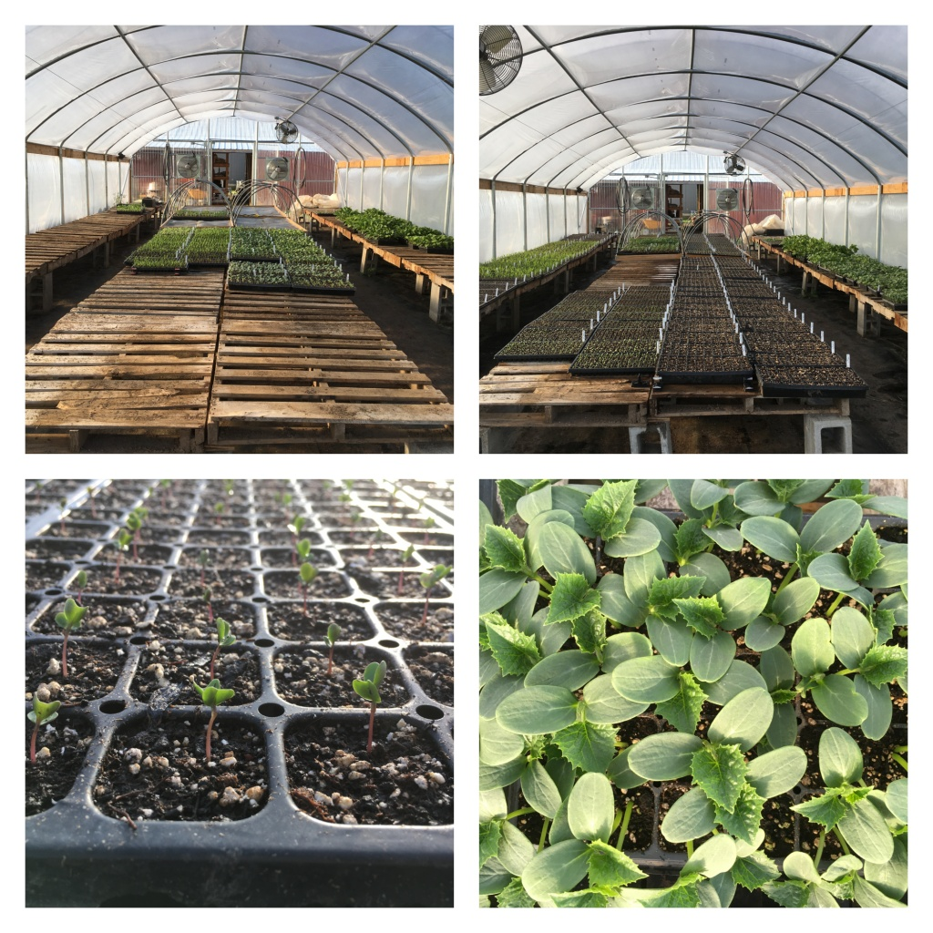Flats of plants inside our propagation house, baby Brussels sprouts plants, and baby cucumbers plants.