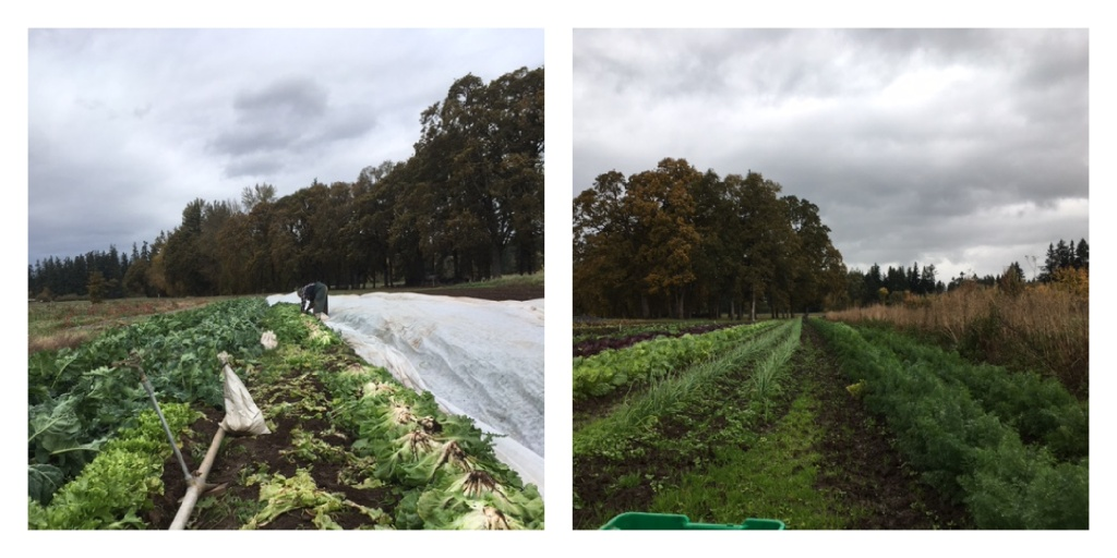 Photo of the escarole harvest and a photo of the dill harvest.